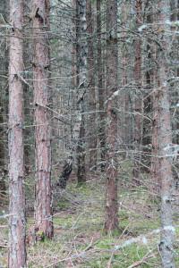 b1-gallringsskog