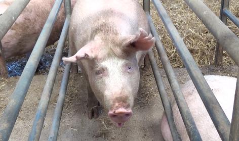 Allt färre grisar i Tyskland