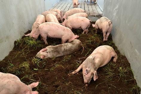 Fler bekymmer för tyska grisproducenter