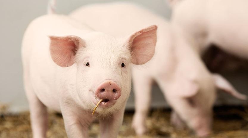 Kina minskar grisproduktionen