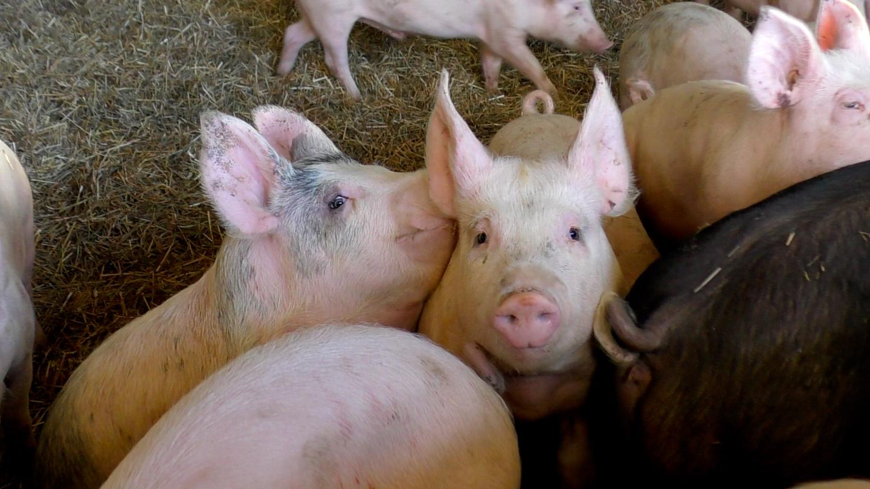 Svalt intresse bland tyska slaktsvinsproducenter
